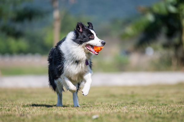 Border Collie - Correndo
